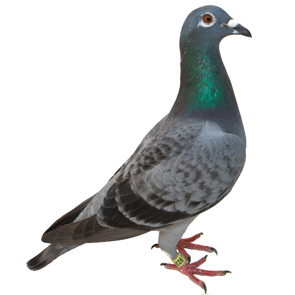 Pigeons HD PNG - 89994