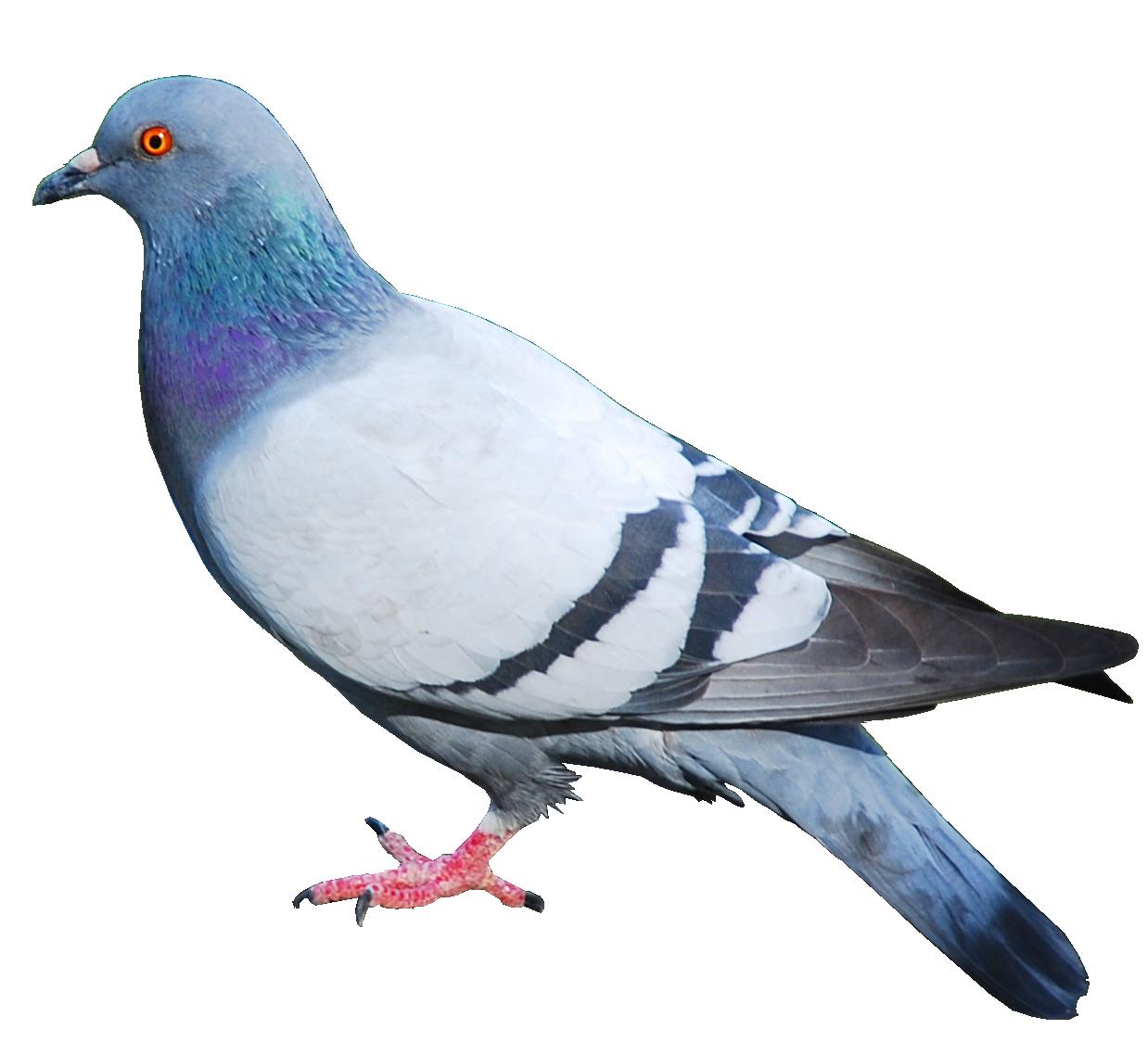 Pigeons HD PNG - 89991