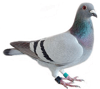 Pigeons HD PNG - 89999