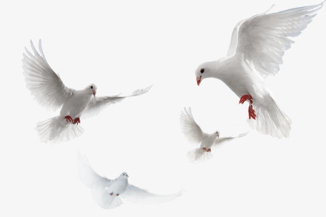 Pigeons HD PNG - 89992