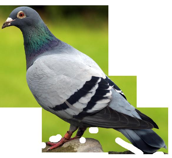 Pigeons HD PNG - 90001