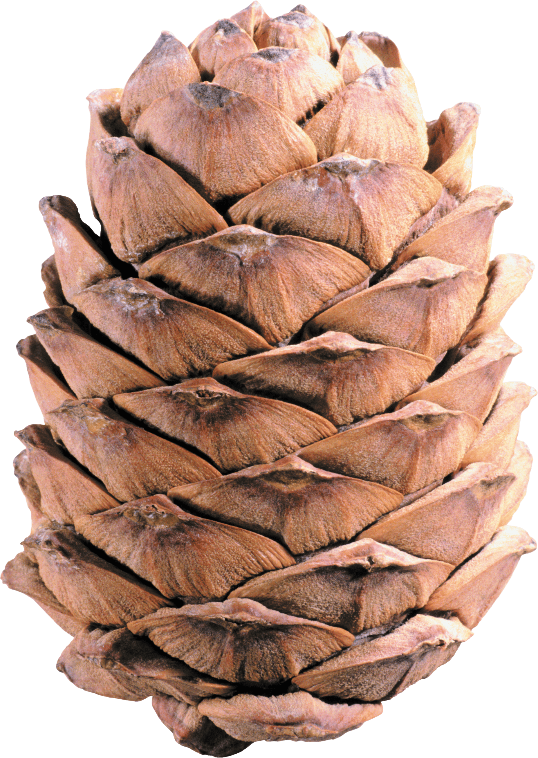 Light Brown Pine Cone - Pinecone HD PNG