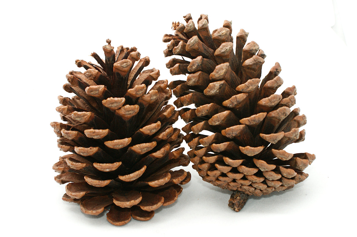 pin Pine Cone clipart stone pine #1 - Pinecone HD PNG
