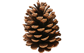 Pine cone - Pinecone HD PNG