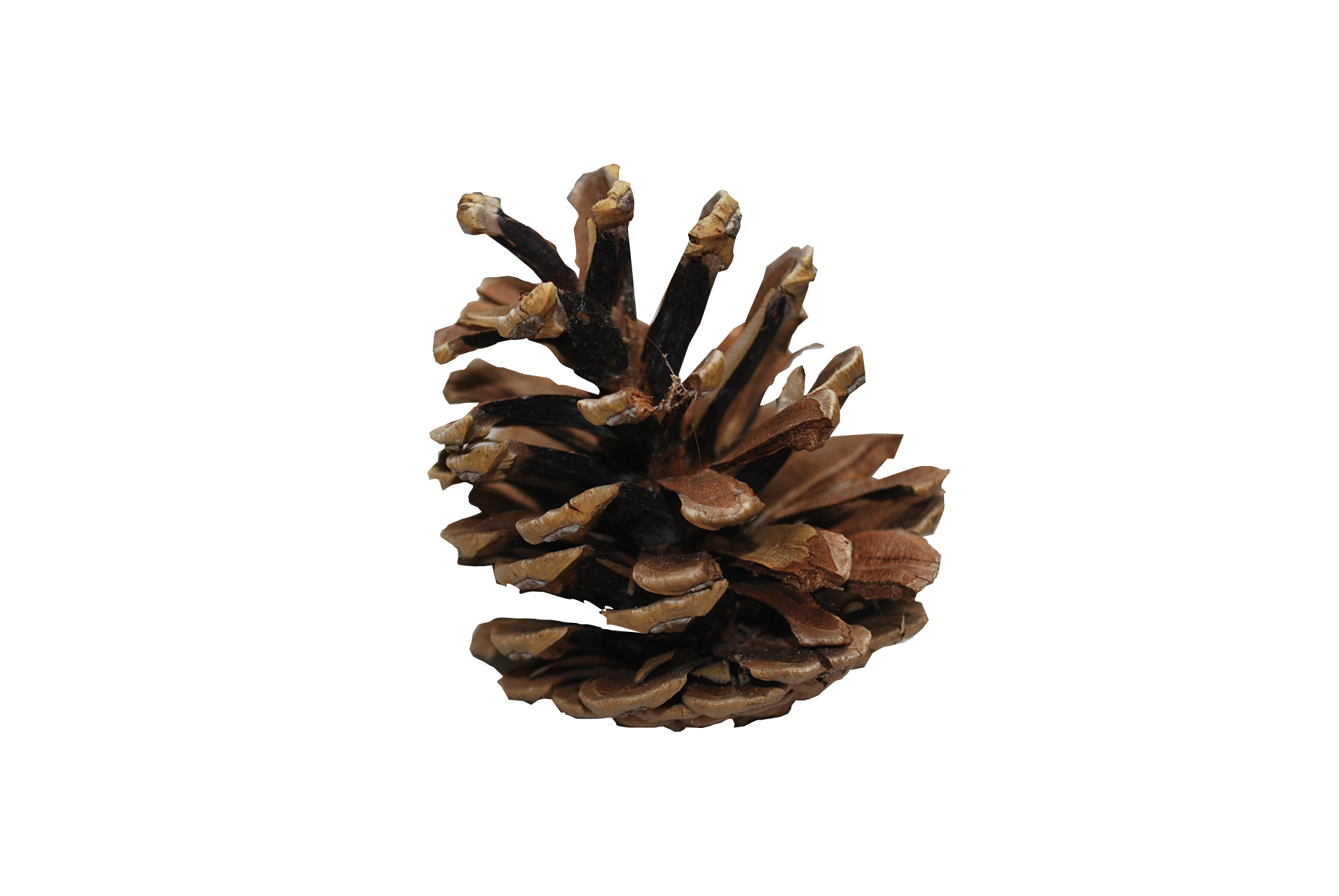 Pine cone PNG - Pinecone HD PNG