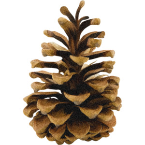 pine cone.png - Pinecone HD PNG