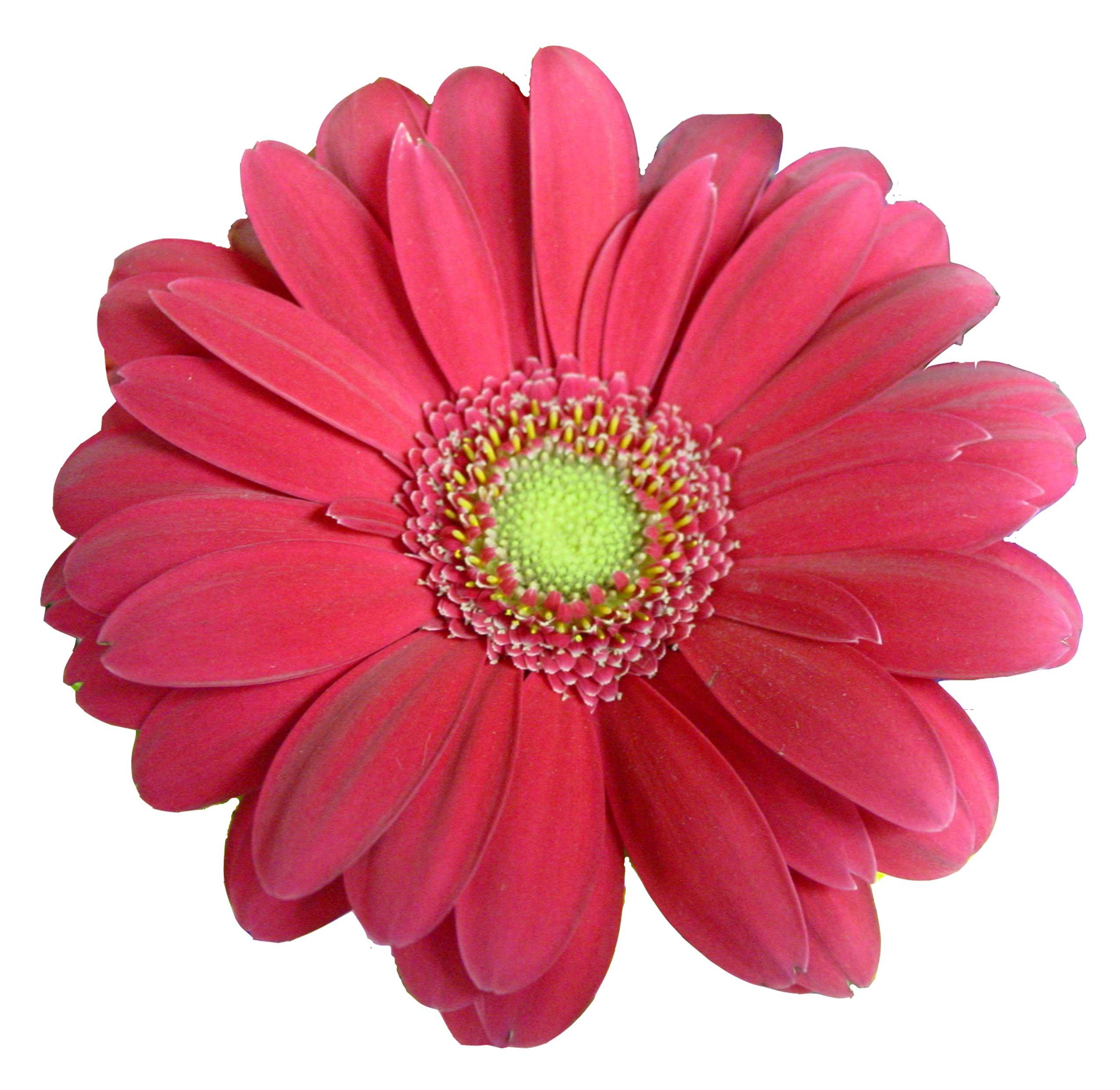 Beautiful Pink Daisy. « - Pink Daisy PNG HD