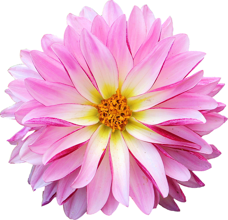 dahlia flower pink yellow - Pink Daisy PNG HD