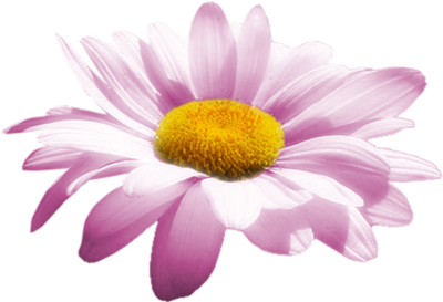 . PlusPng.com daisy-single-pink.png PlusPng.com  - Pink Daisy PNG HD
