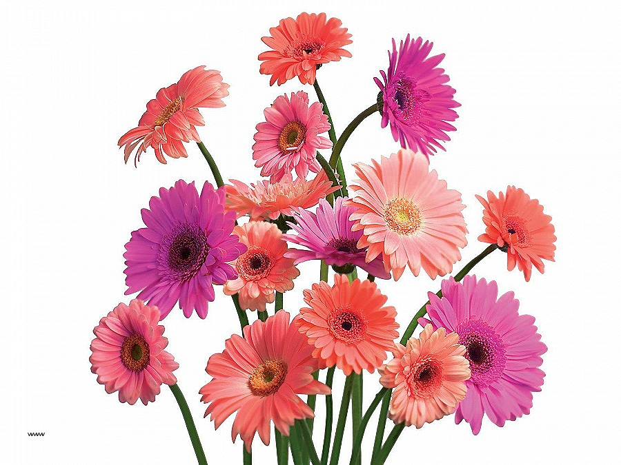 Gerber Daisy Wall Art Lovely Flowers Flower Beautiful Nature Pink Daisy  Specila Wallpaper Hi-Res - Pink Daisy PNG HD