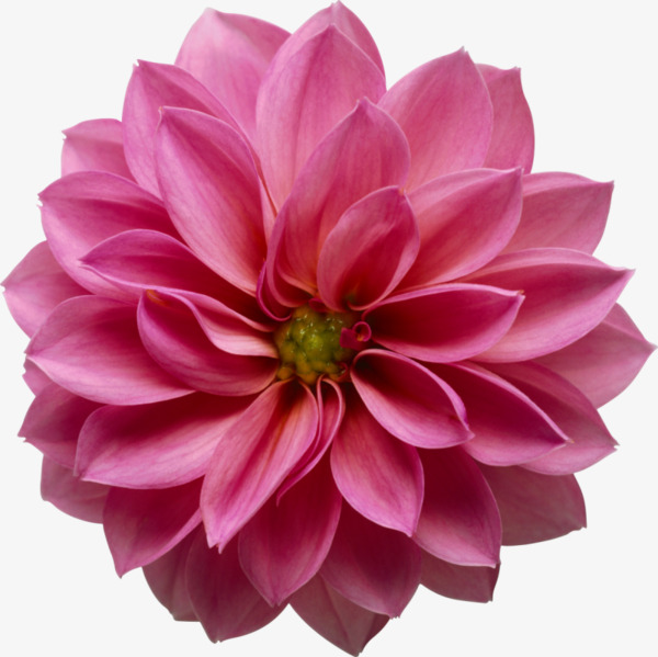 HD pink flower, Pink, Hd, Big Flower PNG Image and Clipart - Pink Daisy PNG HD