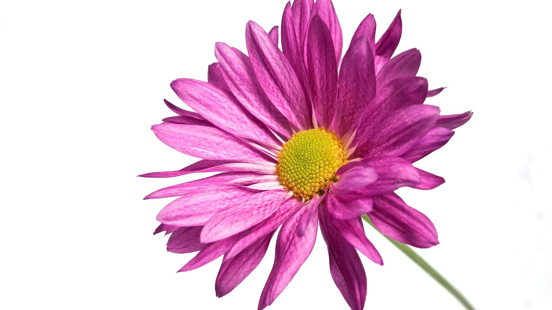 Pink Daisy 1080p - Pink Daisy PNG HD