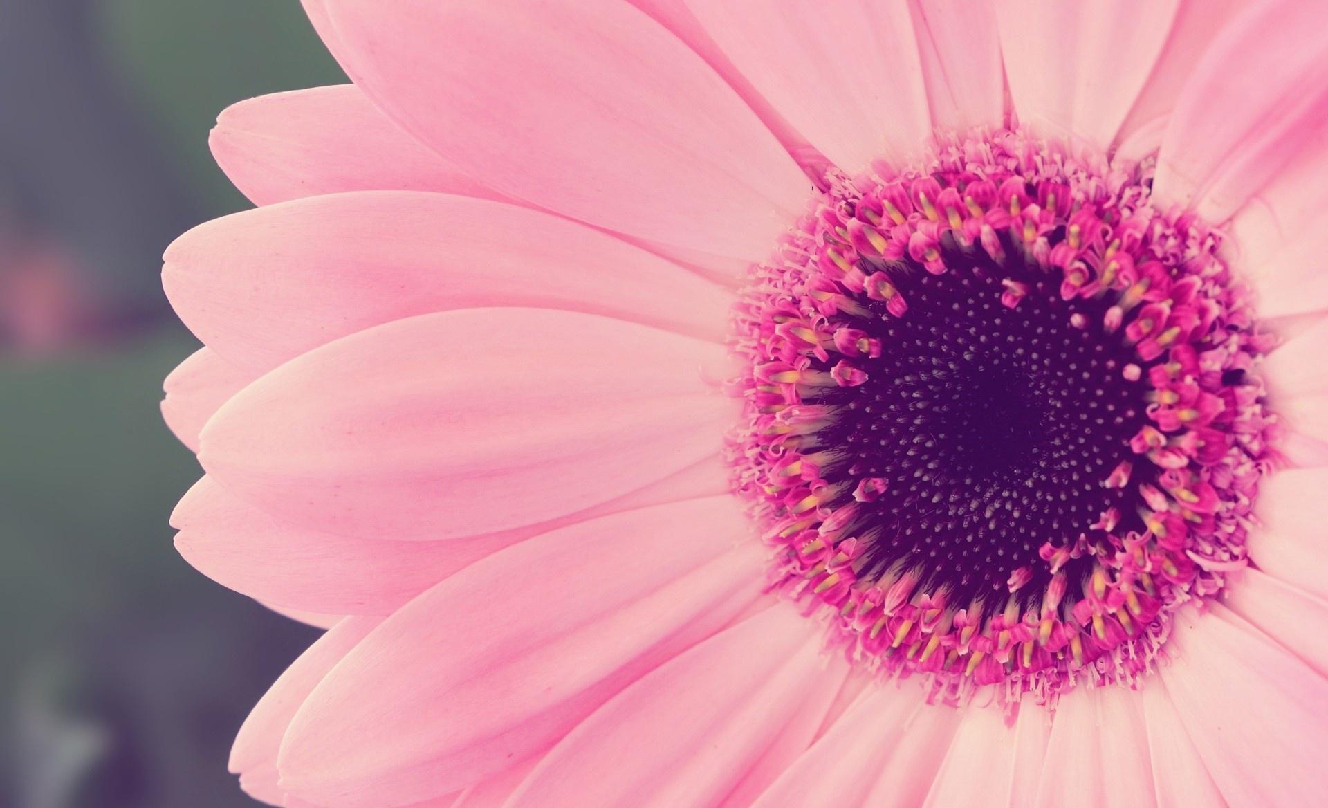 Pink Flower Laptop Wallpaper Pink Flower Desktop The post Flower Wallpaper  Hd appeared first on Share Online - Pink Daisy PNG HD