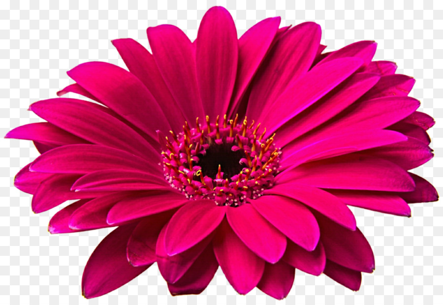 Pink Daisy PNG HD