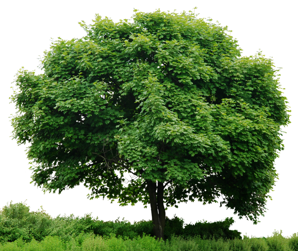 HD Tree Full Render by 3FixR PlusPng.com  - Plant PNG HD