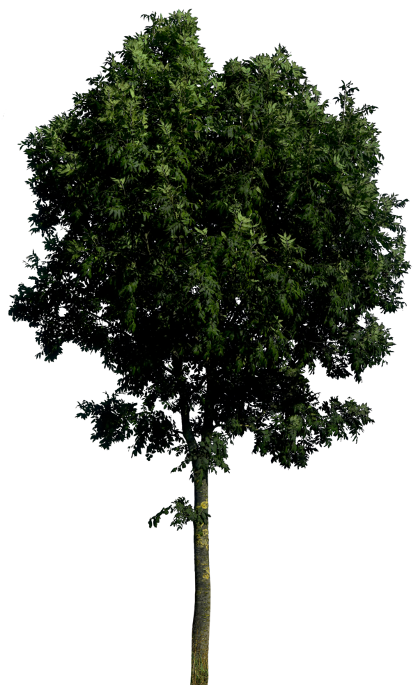 gd08 135 21 Tree 55 png HQ by gd08 - Plants PNG