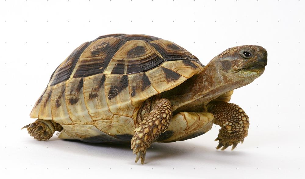 Tortoise PNG - 7210
