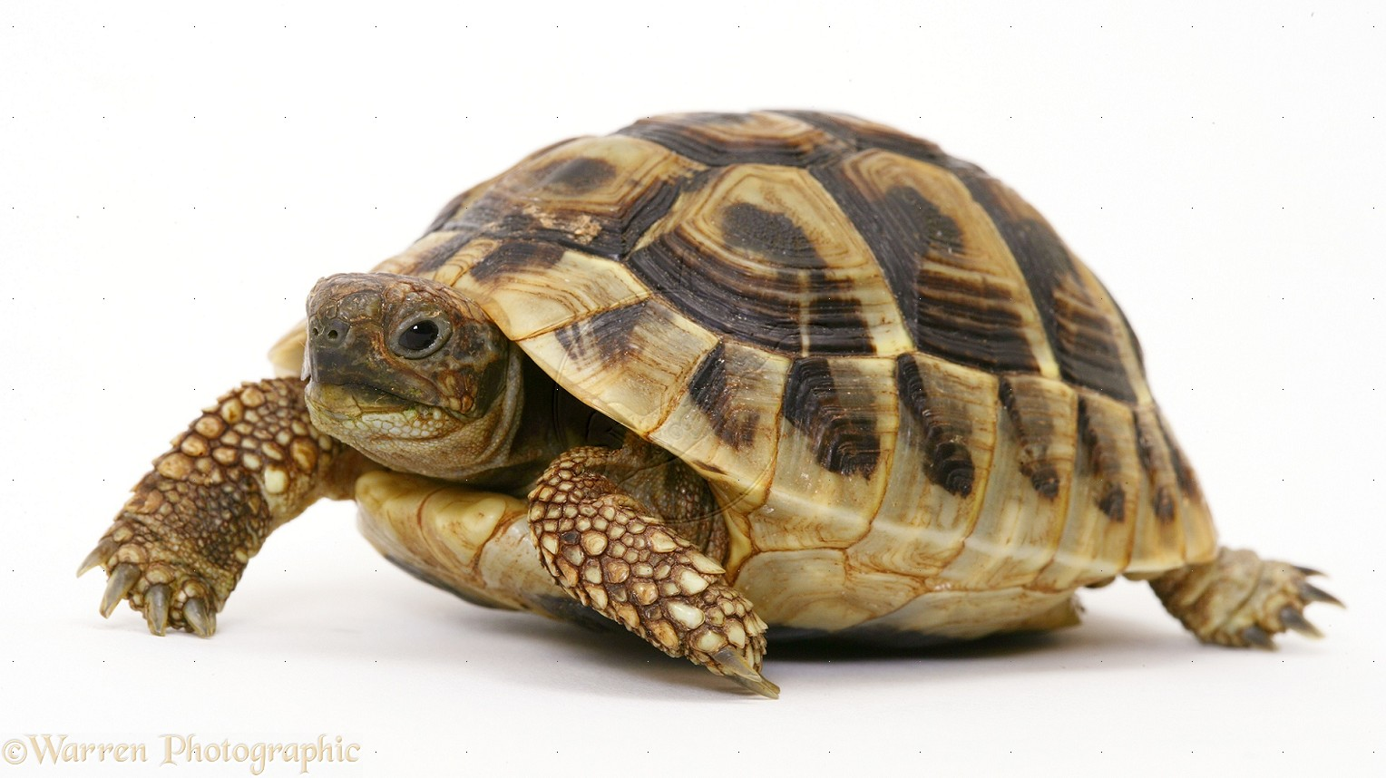 Tortoise PNG - 7207