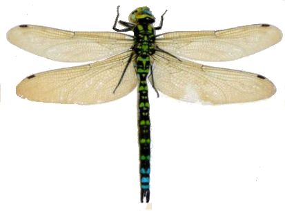 Dragonfly PNG - 1749