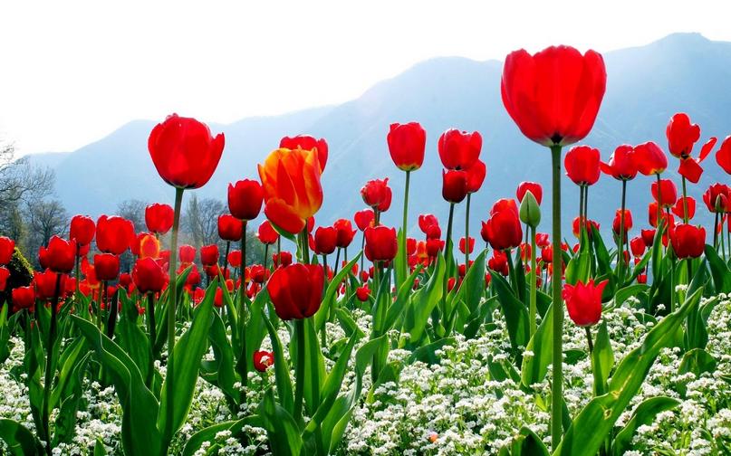 PNG Bunga Tulip - 163329