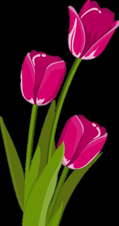 PNG Bunga Tulip - 163323