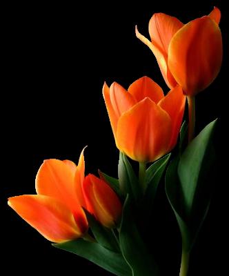 . PlusPng.com orange-tulips.png PlusPng.com  - PNG Bunga Tulip