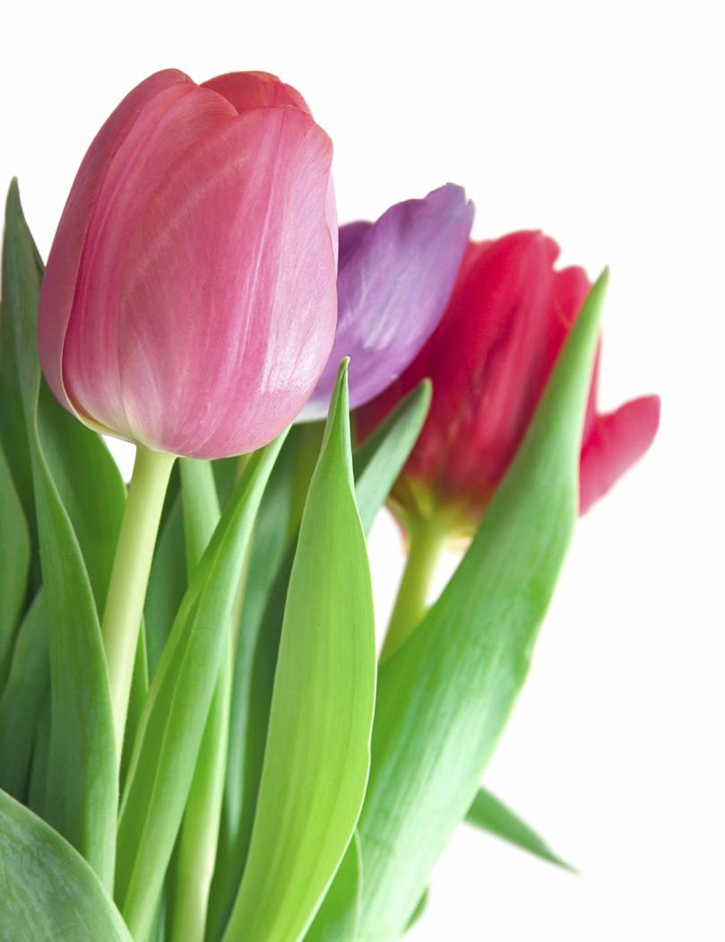 PNG Bunga Tulip - 163336