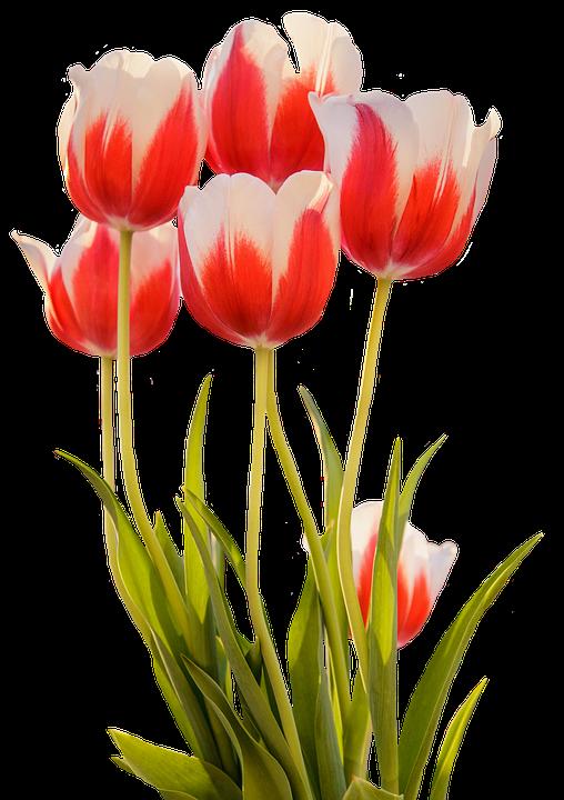 tulip merah musim semi bunga mekar alam - PNG Bunga Tulip