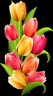 PNG Bunga Tulip - 163333