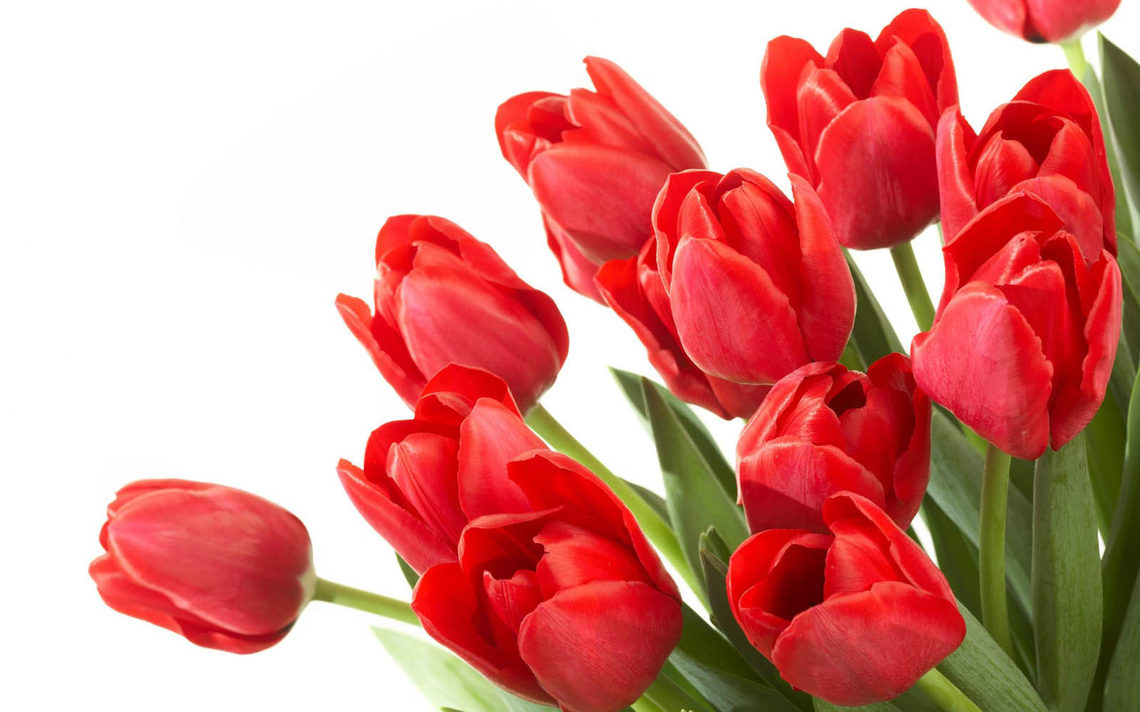 Tulip wallpapers hd - PNG Bunga Tulip