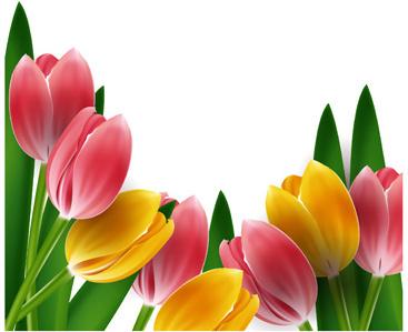 PNG Bunga Tulip - 163331