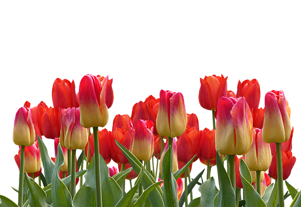 Tulips, Spring, Nature, Flower, Flowers - PNG Bunga Tulip