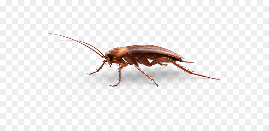 American cockroach Insect - Pest cockroach - PNG Cockroach