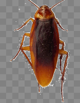 cockroach, Hard, Fighter, Cockroach PNG Image and Clipart - PNG Cockroach