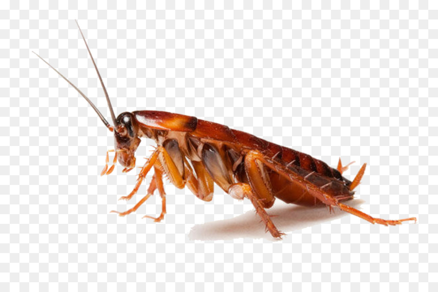 Cockroach Spider Ant Pest control Rat - Cockroach PNG Clipart - PNG Cockroach