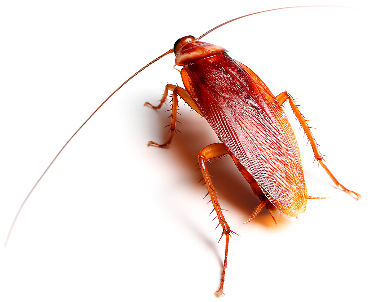 Our Biggest Complaint the American Cockroach! - PNG Cockroach