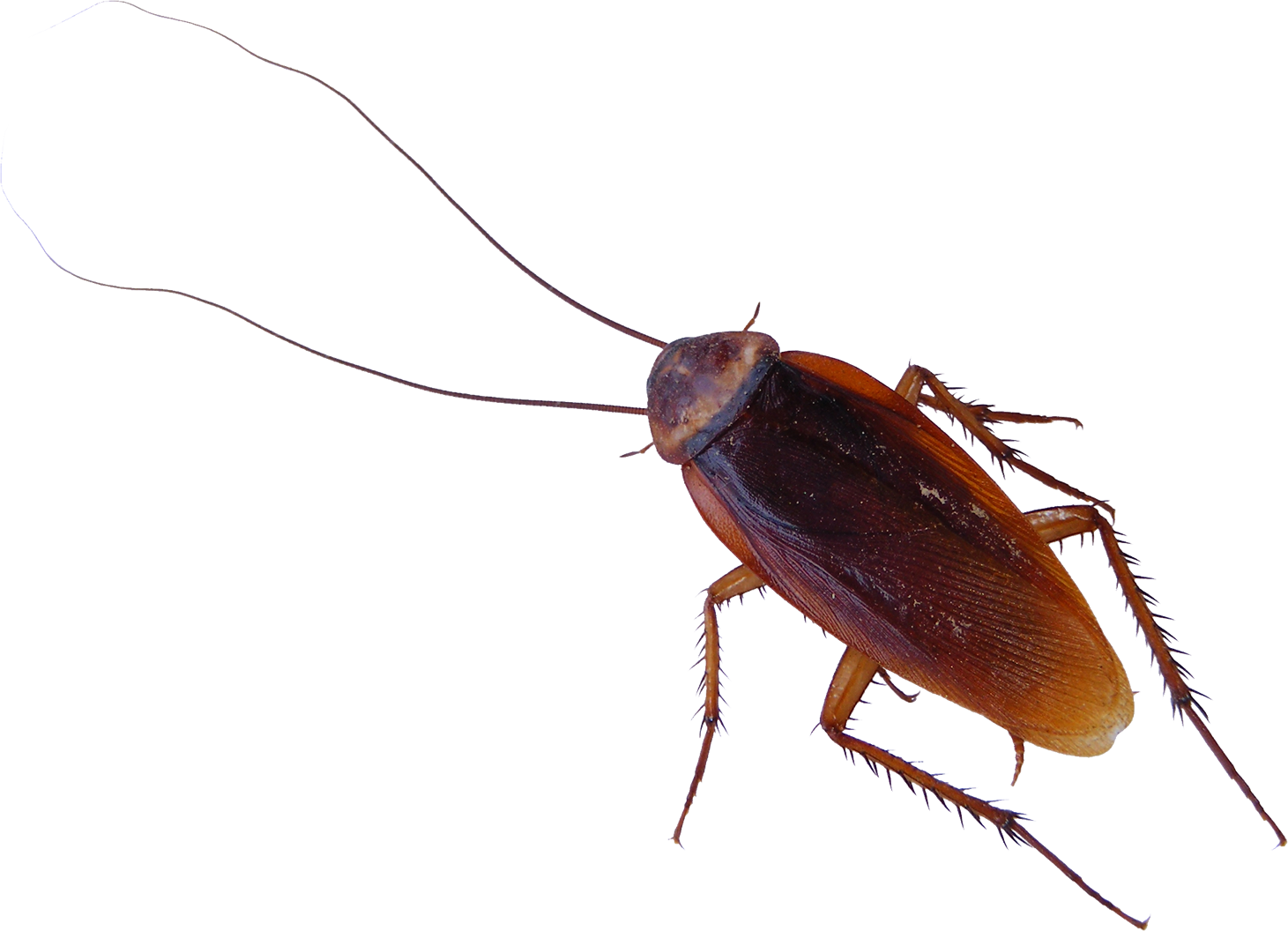 Roach PNG - PNG Cockroach