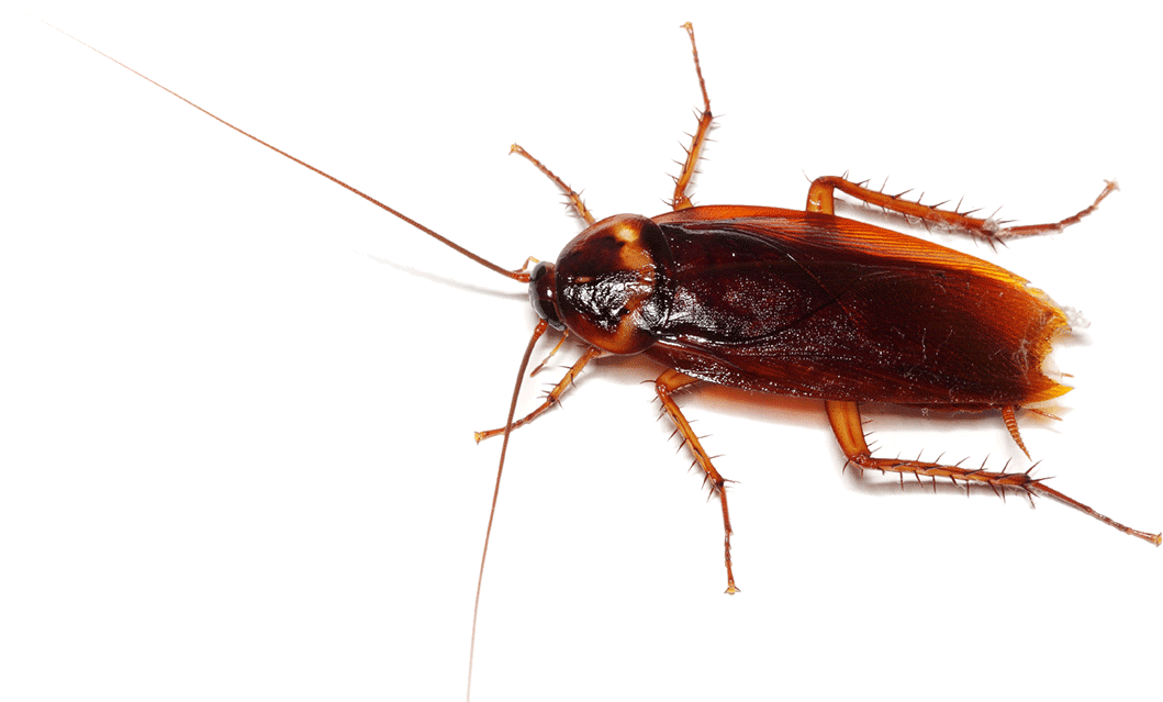 Your Cockroaches Gone, Guaranteed! - PNG Cockroach