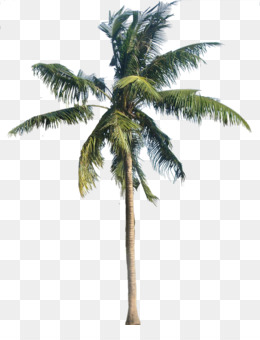 PNG Coconut Tree - 153482