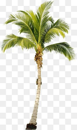 PNG Coconut Tree - 153477