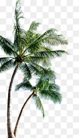 coconut tree, Coconut Tree, Tree, Trees PNG Image and Clipart - PNG Coconut Tree