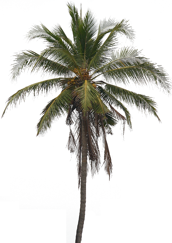 PNG Coconut Tree