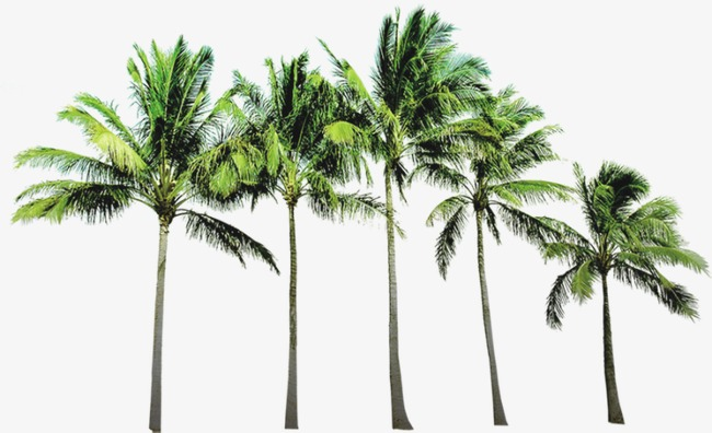 coconut tree, Tree, Beach Tree PNG and PSD - PNG Coconut Tree