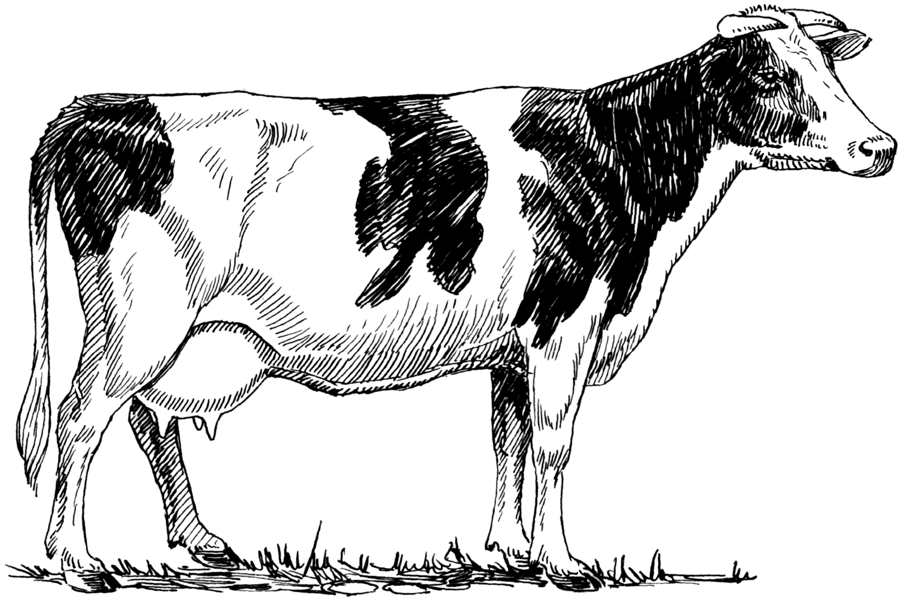 File:Holstein Cow 001.png - PNG Cow Black And White