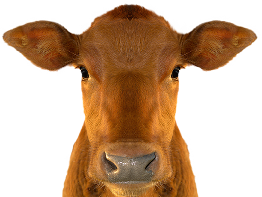 PNG Cow Head - 64558