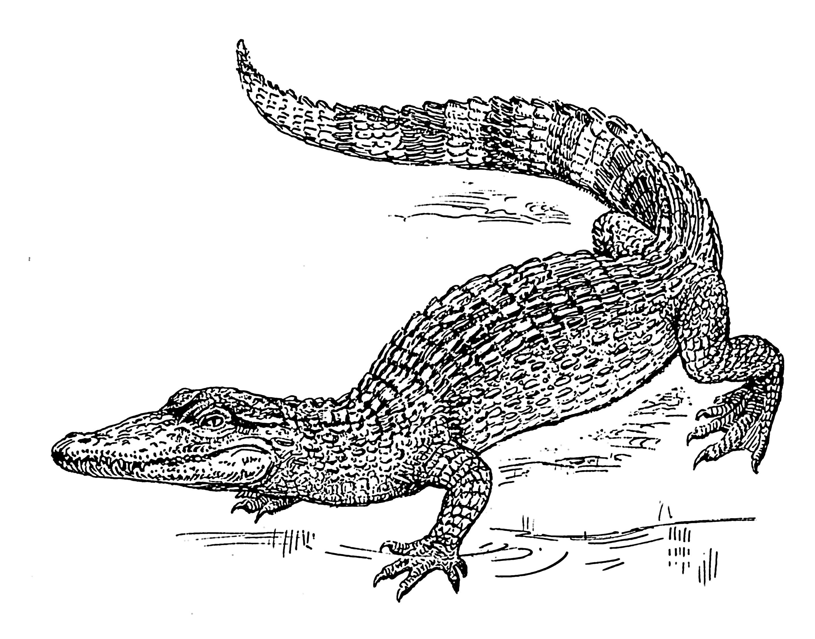 PNG Crocodile Black And White - 133437