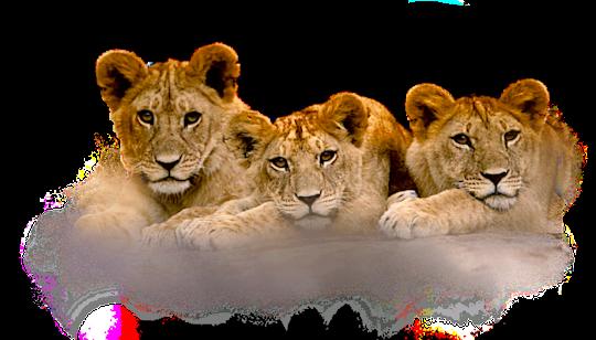 3-Lion-Cubs.png - PNG Cub