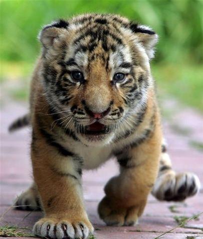 File:Tiger cub.png - PNG Cub