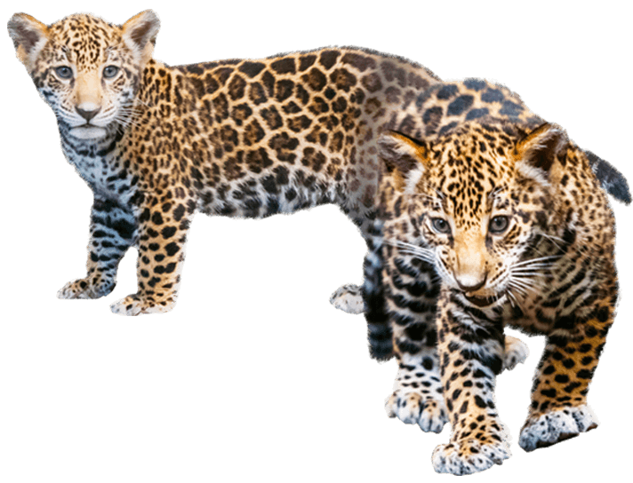 jaguar cubs - PNG Cub