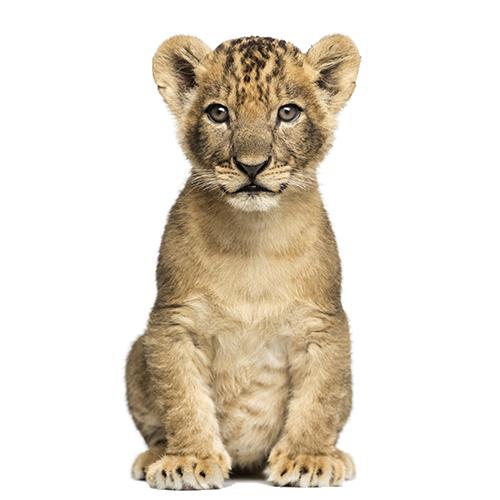 Lion cub - PNG Cub